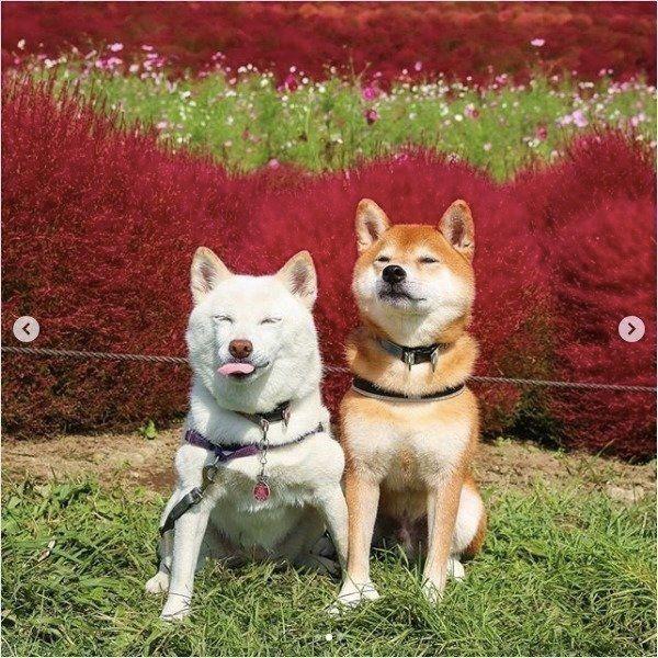 写真を撮る柴犬