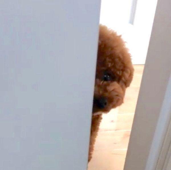 ドアの隙間から覗き込むトイ・プードル