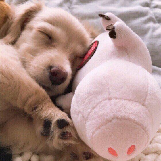 気持ちよさそうに眠るミニチュア・ダックスフンド