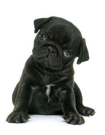 パグの特徴と性格・飼い方・価格相場など|犬図鑑|いぬのきもちWEB MAGAZINE