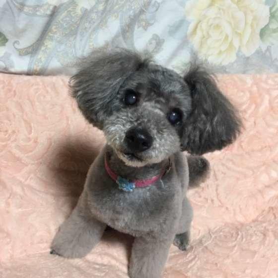 シニア犬が白内障になったら生活のサポートをしてあげよう