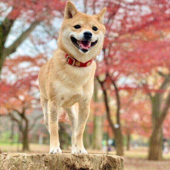 秋の自然と柴犬