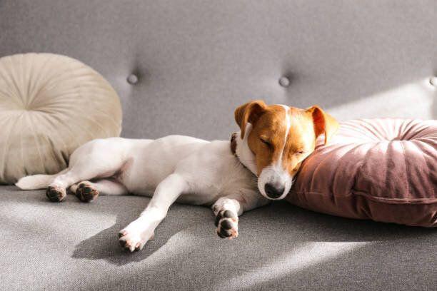 自宅でソファの上に休んでいる面白い小さな犬