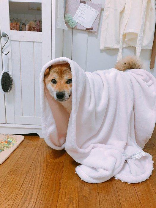 毛布をかぶる柴