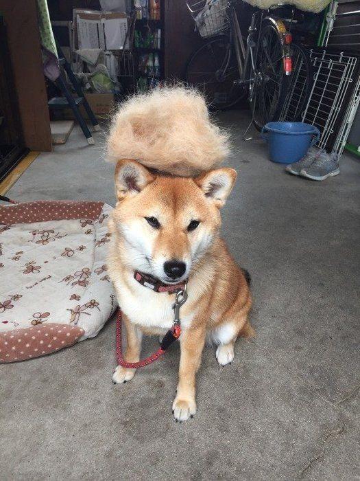 ふわふわの毛を乗せている柴犬
