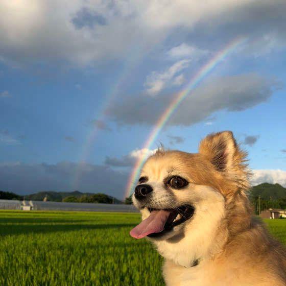 虹とチワワ 犬が旅立つ前に見せるしぐさや予兆に気がついた時飼い主さんができること
