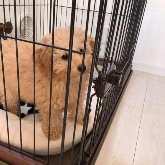 ケージの中で何かを見つめる犬(トイ・プードル)