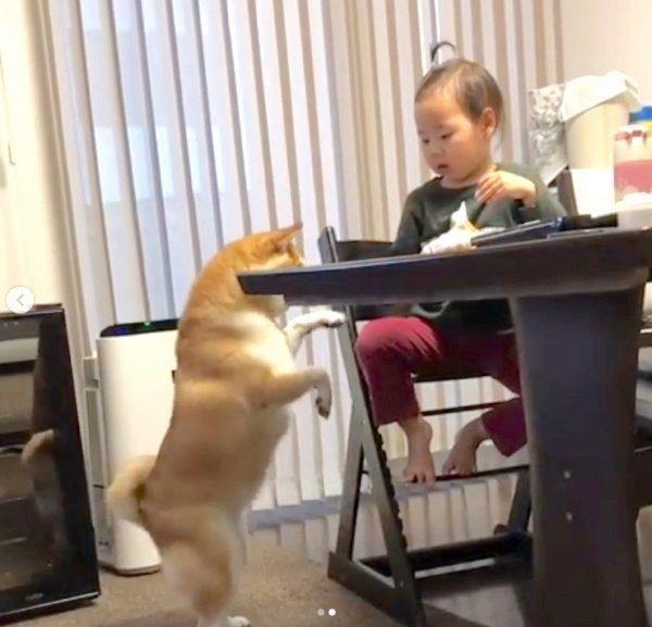 リンゴがほしい柴犬