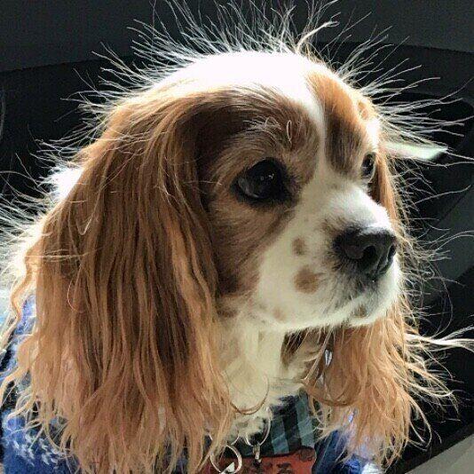 バチッ!と感じる犬の静電気問題を解決する方法 いぬのきもち