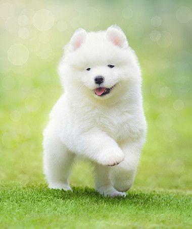犬 白い でかい