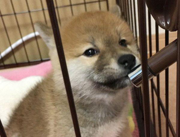 水を飲む柴犬