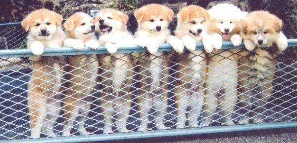 並ぶ秋田犬の子犬
