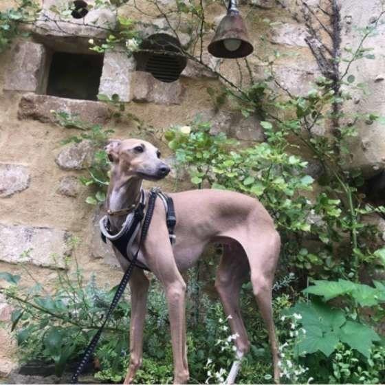 足が速い犬種ランキングBest3とそのルーツについて イタリアン・グレーハウンド