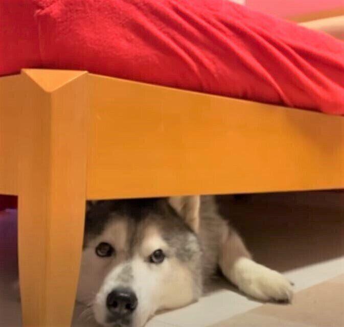 ベッドに潜るシベリアン・ハスキー
