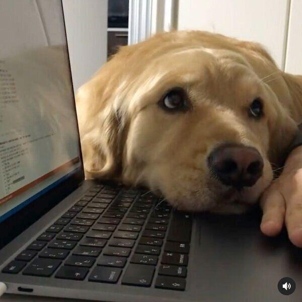 パソコン作業中の飼い主さんを邪魔しちゃう佐助くん