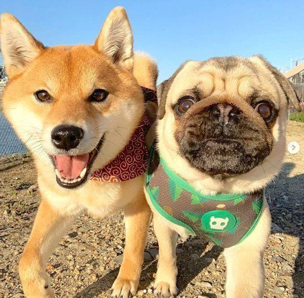 仲良しな柴犬とパグ