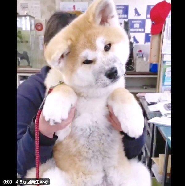 首を傾げる秋田犬