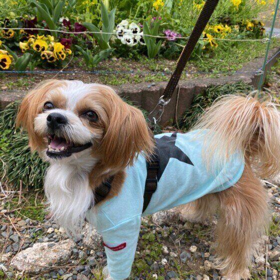 散歩中のその他の犬種のらおんちゃん