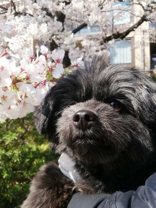 桜の木と犬