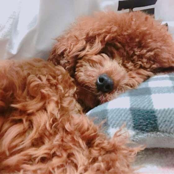 気持ちよさそうなトイプーちゃんの寝顔