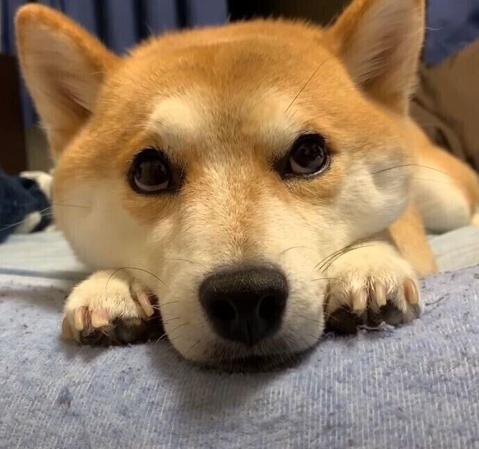 柴犬のハナちゃん