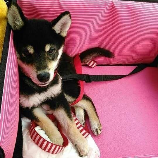 ドライブボックスでお利口さんの柴犬の子犬