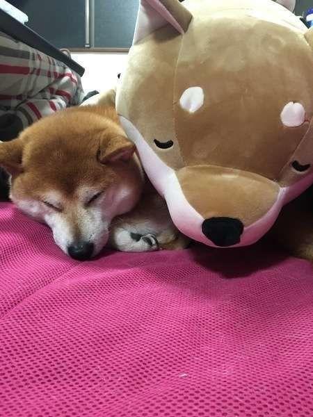 ぬいぐるみと添い寝する柴犬のこたる