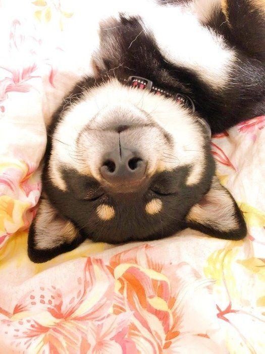 気持ち良さそうに眠る柴犬