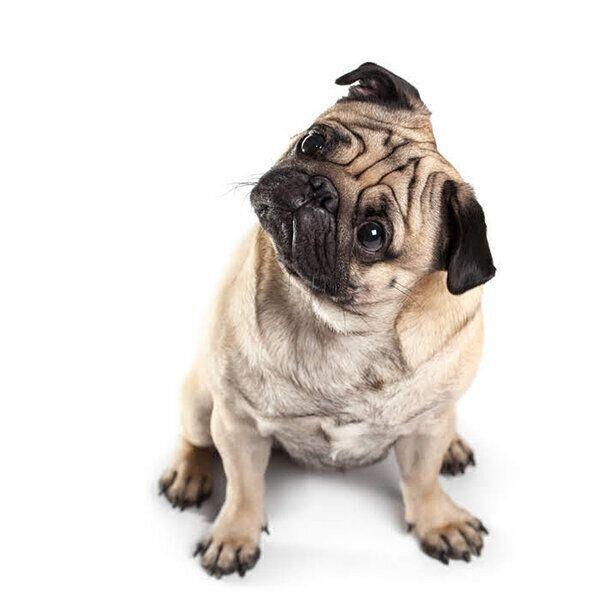 皮膚から独特のニオイ、体からアンモニア臭…犬の「体臭」で気づける異変のサイン