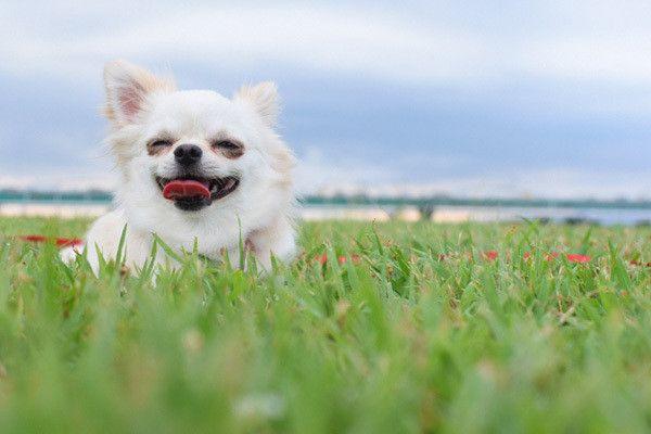 微笑むチワワ