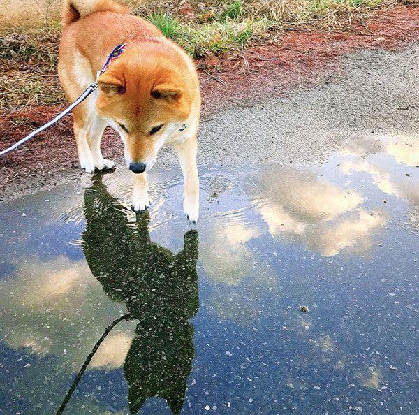 お散歩する柴犬