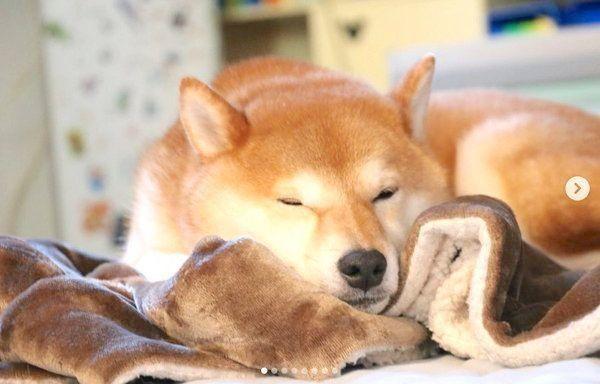柴犬のコロくん
