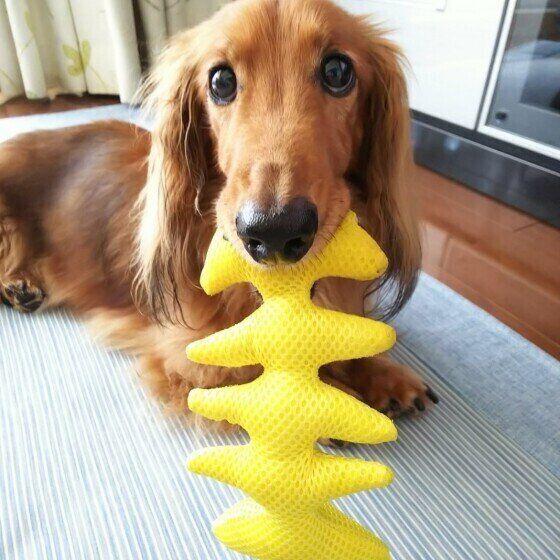 おもちゃをくわえるダックスフンド