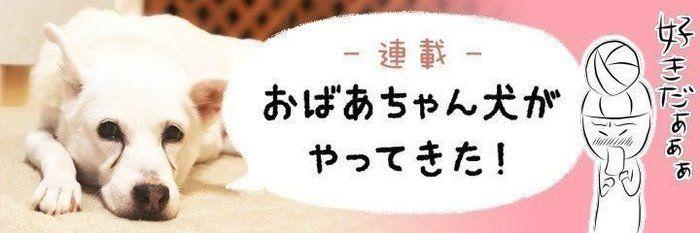 涼しげな「レモン柄」の首輪をプレゼント でもシロさんの首が上がらなくて…【連載】おばあちゃん犬がやってきた 第75回