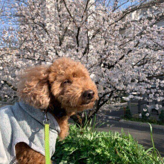 トイ・プードルのKRAMちゃんと桜