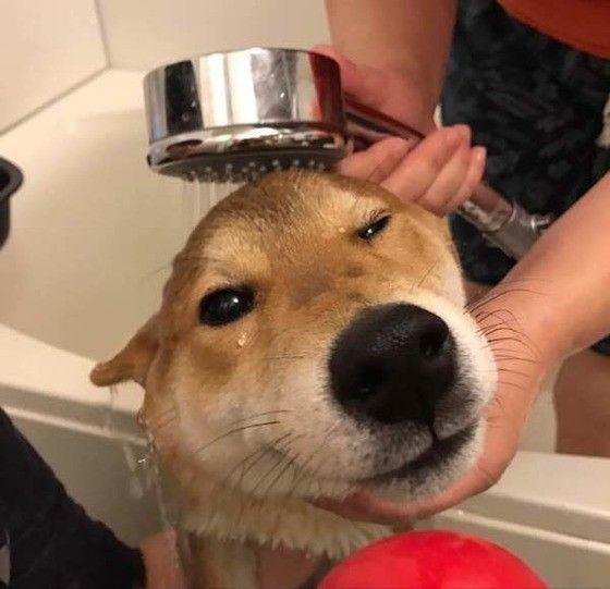 柴犬とシャワー