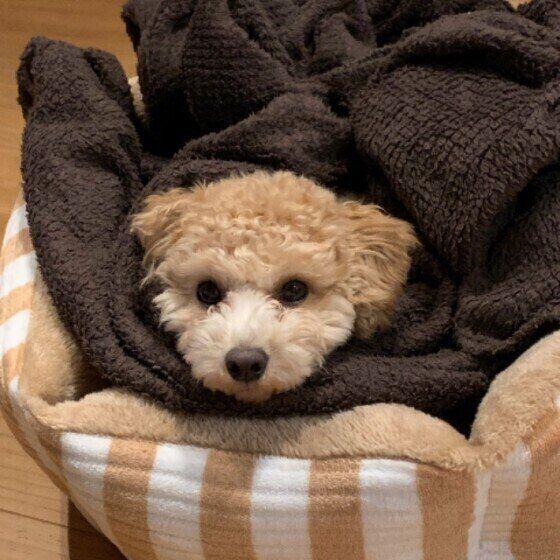毛布にくるまるトイ・プードルのハロちゃん