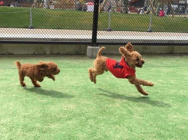 ドッグランで走り回る2匹の犬