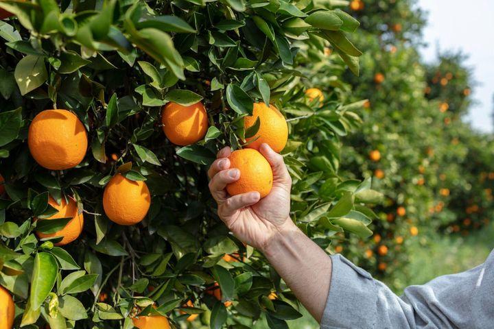 美しい日差しとオレンジファームで手とオレンジをクローズアップ